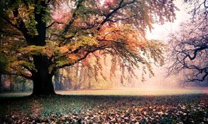 秋季公园中美丽的大树和落叶摄影图片