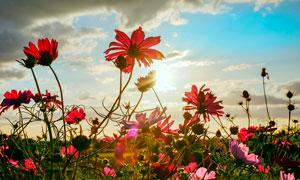 阳光下盛开的红色花朵摄影图片