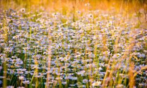 黄昏下的洋甘菊花草高清摄影图片