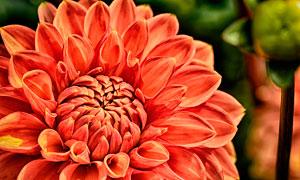 盛开的非洲菊花朵高清摄影图片