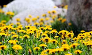 盛开的野菊花高清摄影图片