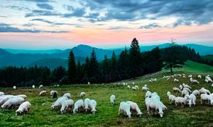 傍晚山顶草地上的羊群高清摄影图片