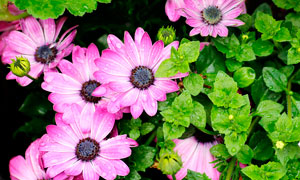 挂满水珠的粉色非洲菊摄影图片
