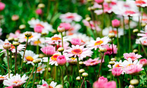 美丽的非洲菊花丛高清摄影图片