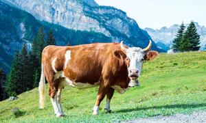 山坡草地上的奶牛摄影图片