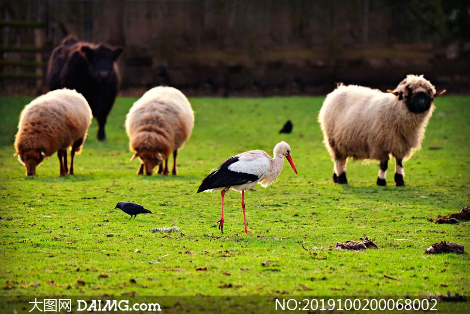 草原上的羊群和仙鹤摄影图片