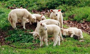 山坡上正在吃草的羊群摄影图片