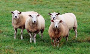 草原上的绵羊高清摄影图片