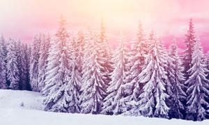 夕阳下的雪松美景高清摄影图片