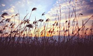 清新淡雅的芦苇丛摄影图片