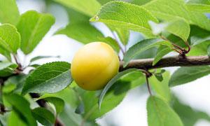 枝头上的杏子近景摄影图片