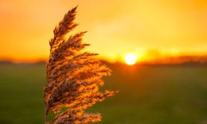 夕阳下的芦苇花特写摄影图片