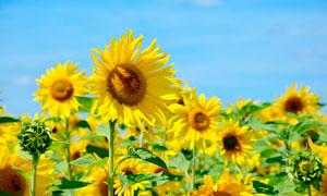蓝天下的向日葵种植园摄影图片
