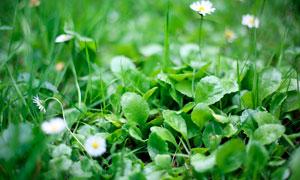 春季幼苗和白色小野花摄影图片