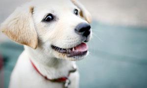 可爱的白色小狗高清摄影图片
