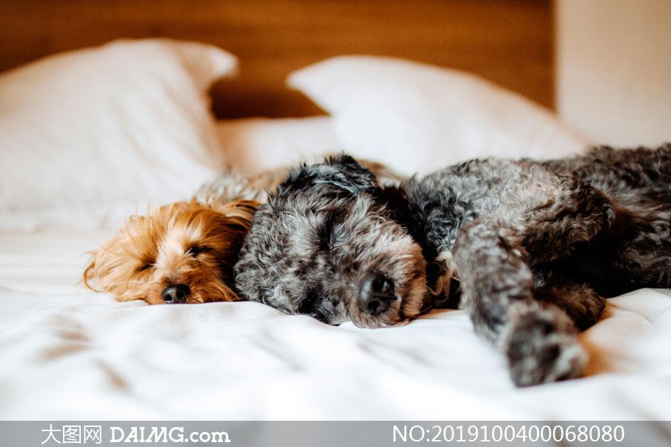 趴在床上睡觉的两只小狗摄影图片