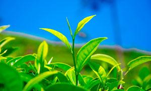 春季清新的绿叶幼苗摄影图片
