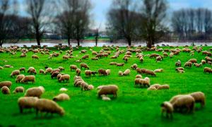 河边草地上吃草的羊群摄影图片
