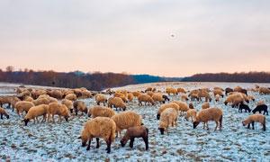 雪后草原上的羊群高清摄影图片