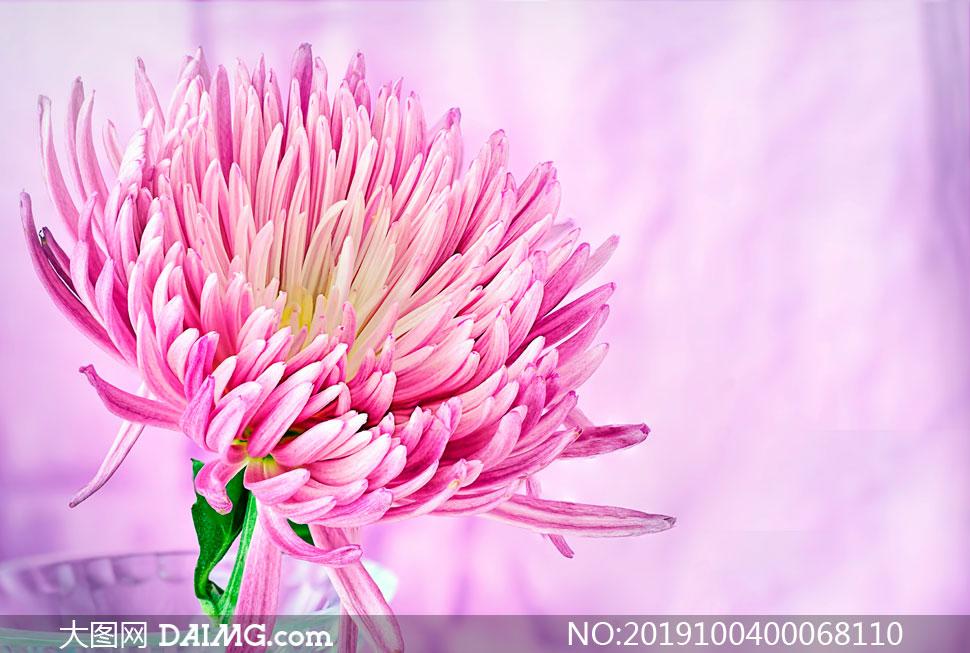 粉色菊花近景摄影图片