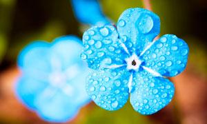 挂满露珠的蓝色花朵高清摄影图片