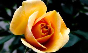 金色玫瑰花近景高清摄影图片