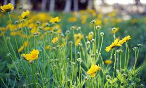 花丛中的野菊花和花苞高清摄影图片