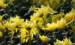 金黄色的菊花花朵高清摄影图片