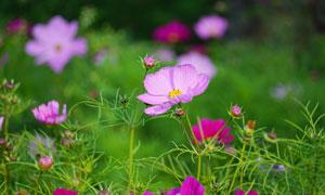 浅紫色的格桑花花朵高清摄影图片