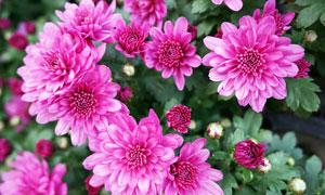 紫红色盛开的菊花高清摄影图片