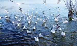 云南大理洱海上的海鸥摄影图片
