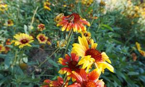 路边在黄色小花上采蜜的蜜蜂摄影图片