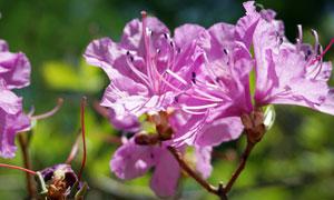 盛开的杜鹃花近景摄影图片
