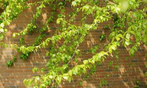 春季墙角新鲜的藤蔓树叶摄影图片