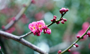 盛开的梅花和花苞高清摄影图片
