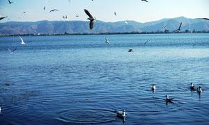 云南大理洱海上的鸟群摄影图片