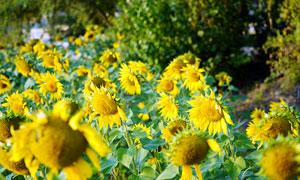 美丽的向日葵花园高清摄影图片