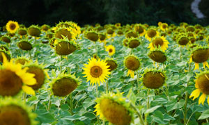 盛开的向日葵景观高清摄影图片