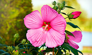 盛开的大花秋葵高清摄影图片