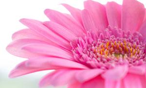 盛开的非洲菊花朵近景摄影图片