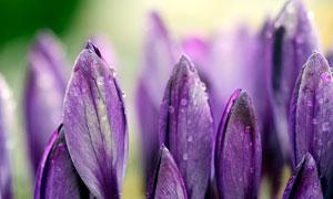 带着露珠的紫色花朵高清摄影图片