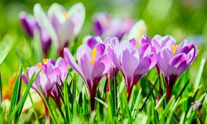 盛开的番红花近景摄影图片