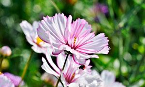 粉色盛开的花朵近景摄影图片