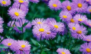 紫色盛开的美丽飞蓬高清摄影图片