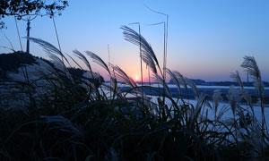 夕阳下河边芦苇丛高清摄影图片