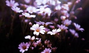 盛开的卷耳花朵高清摄影图片