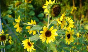 盛开的向日葵近景摄影图片