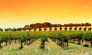 夕阳下的葡萄庄园全景摄影图片