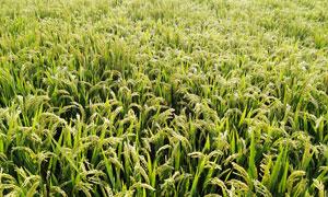 田园杂交水稻高清摄影图片