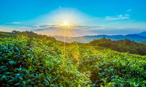 阳光下的美丽茶园高清摄影图片